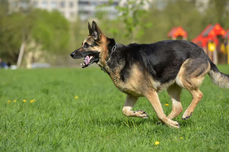 The oldest German shepherd runs in the park in the summer