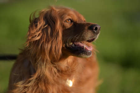 red-haired English cocker spaniel in the park Stock Photo
