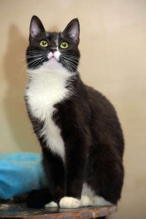 black and white short-haired cat in the shelter