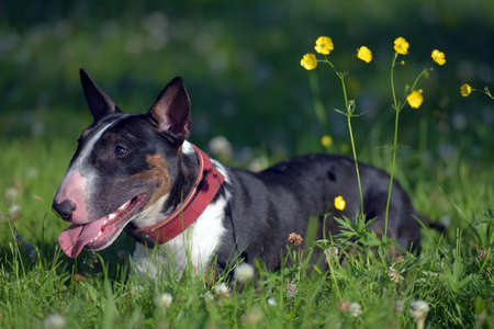 black and white miniature bull terrier on grass and yellow flowers