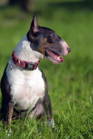 black and white miniature bull terrier on the grass