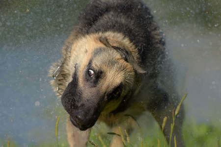 Eastern European Sheepdog on the background of the lake shakes off the water Stock Photo