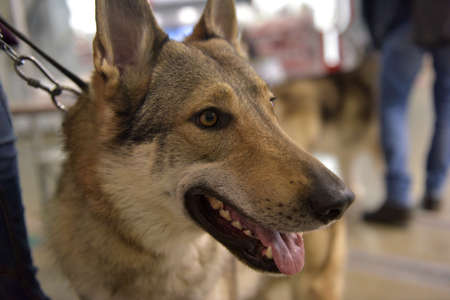 Czechoslovak wolf-dog - the national breed of Czechoslovakia