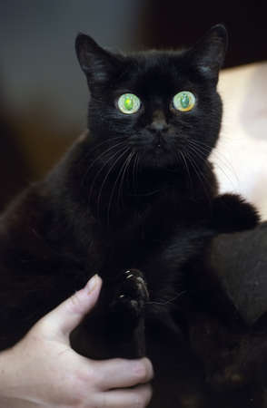 the big-eyed black cat in the arms