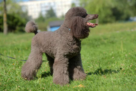 brown royal poodle in the summer on the grass Archivio Fotografico