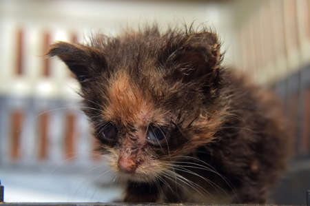 Little dirty kitten with eye disease due to infection in the shelter 免版税图像