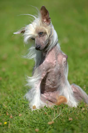 Old Chinese crested dog on grass