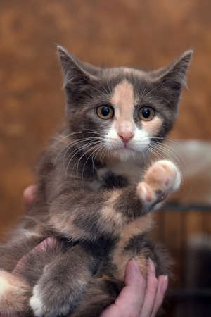 cute three-colored kitten in hands