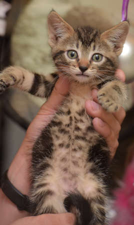 cute striped kitten on hands Archivio Fotografico