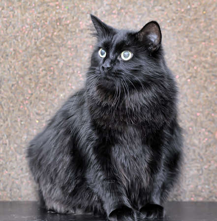 thick fluffy beautiful black cat Imagens