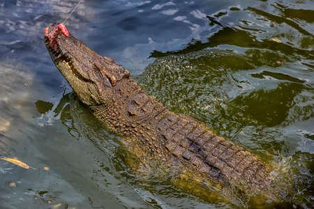 Crocodile in a crocodile farm in Thailand