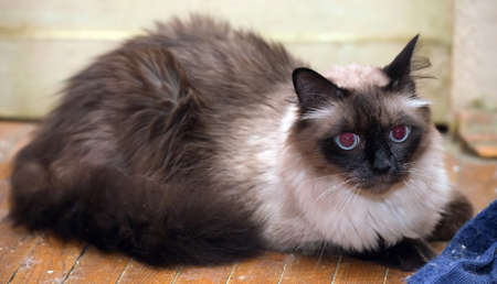 a beautiful Neva Masquerade cat. It is a subspecies of the Siberian cat.