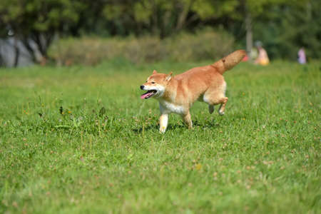 siba inu runs along the grass 写真素材