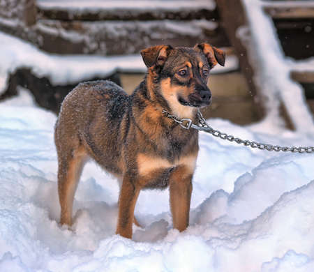Puppy on a chain in the snow during winter Imagens