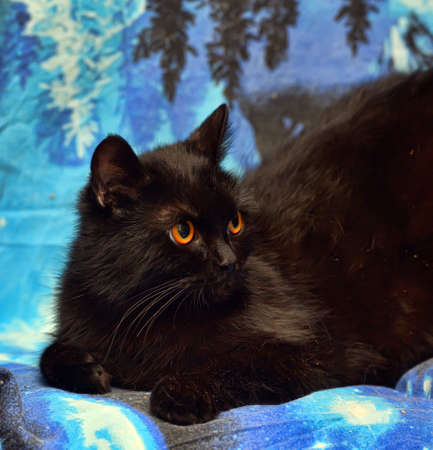 furry black cat with orange eyes on a blue background
