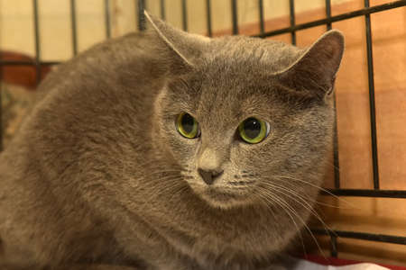 frightened gray cat in a cage in a shelter