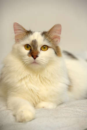 Turkish Van cat breed on light background 스톡 콘텐츠