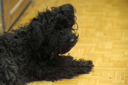 a small black overgrown dog with a sad look Stock Photo