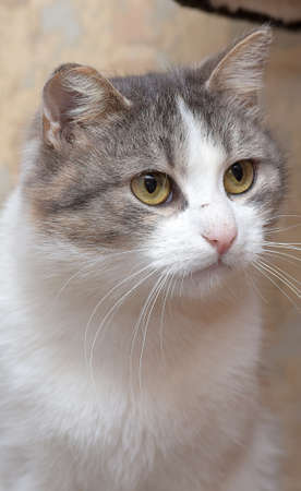 European shorthair tricolor cat close up Stockfoto
