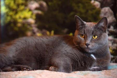 beautiful gray British cat portrait