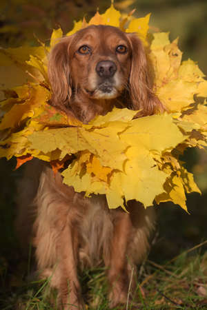 red english spaniel with a wreath of autumn leaves around his neck 免版税图像