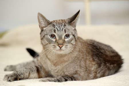beautiful blue eyed thai tabby cat