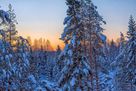 snow-covered trees in the winter at sunset