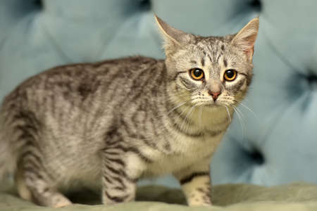 gray striped frightened young cat