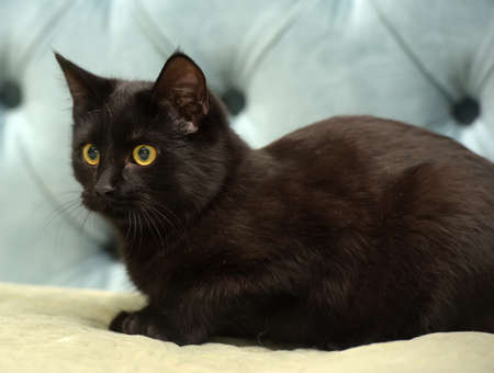 black shorthair cat with yellow eyes on a blue background