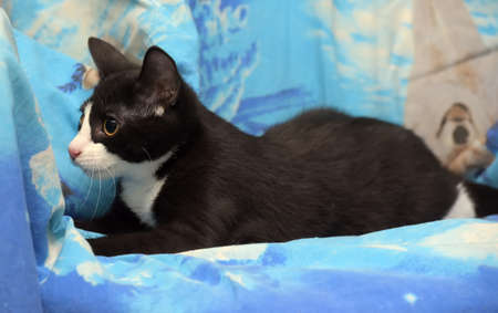black with white young cat on a blue background 版權商用圖片