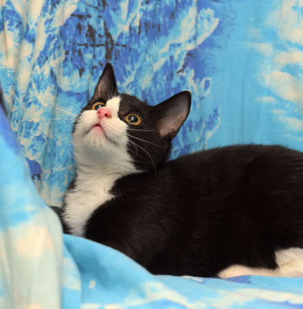 black with white young cat on a blue background Stock Photo