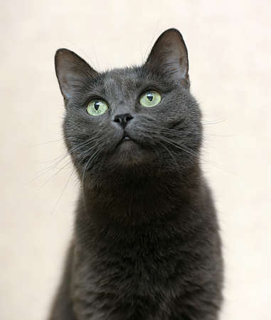 Portrait of a beautiful and funny gray cat Stock Photo