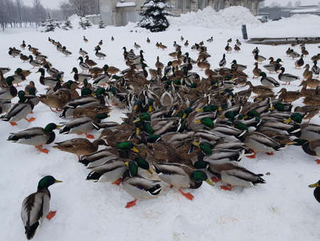 many ducks eat in the snow, remaining for the winter in the city Stock Photo
