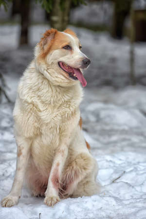 red and white Central Asian Shepherd in the snow in winter