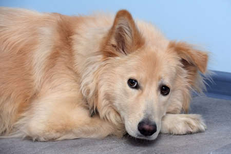 beautiful beige fluffy dog half-breed with a hanging ear