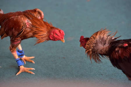 photo of two fighting roosters fighting in thailand Stockfoto - 119227525