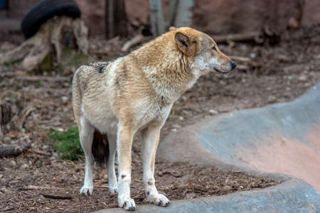Wolves in the zoo in spring