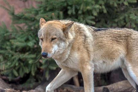 Loups au zoo au printemps