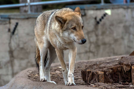 Wolves in the zoo in spring Banque d'images