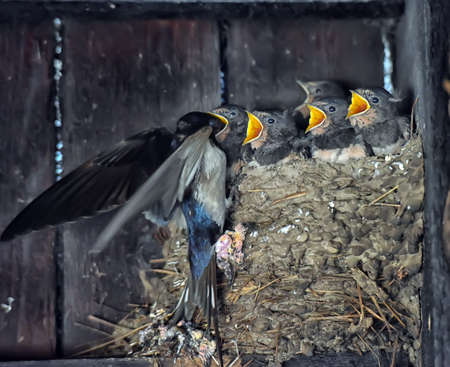 Swallow feeding chicks in the nest