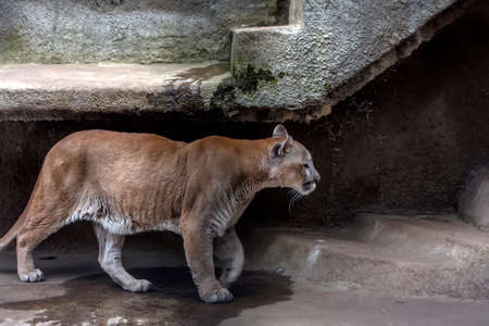 cougar in a cage at the zoo