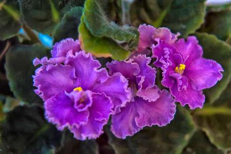 Violet flower with green leaves (Viola). Banque d'images