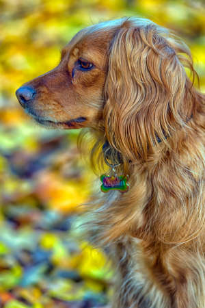 beautiful red english spaniel on autumn background