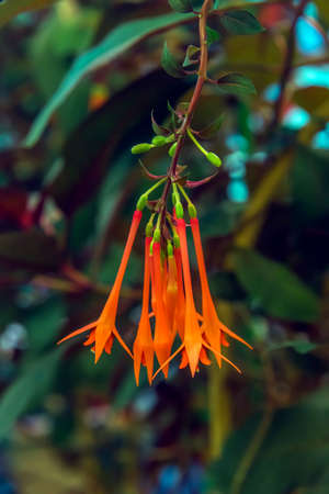 Red flower of Fuchsia hybrid