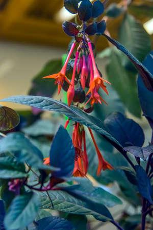 Red flower of Fuchsia hybrid