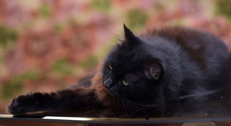 beautiful fluffy black cat is lying on a glass table with reflection