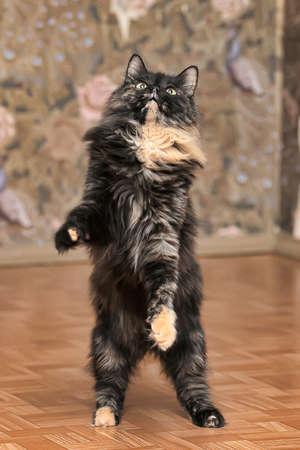 tortoiseshell fluffy cat on its hind legs 免版税图像