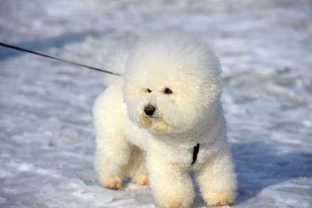 Ein Hund von Bichon Frise Rasse weiße Farbe
