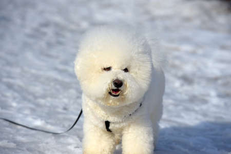 A dog of Bichon frize breed  white color
