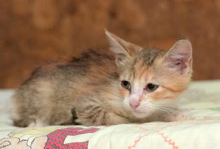 sad little tricolor kitten in a shelter
